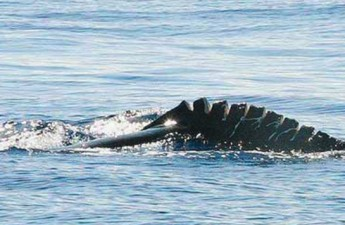 Humpback whale with injuries from a vessel collision