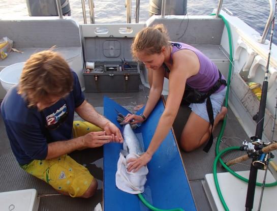 Tagging predator fish off Maui