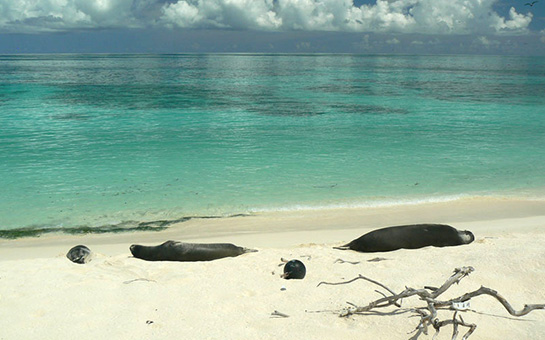 Northwest Hawaiian Islands- Hawaiian monk seals on beach