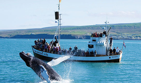 Humpback whale near Husavik, Iceland