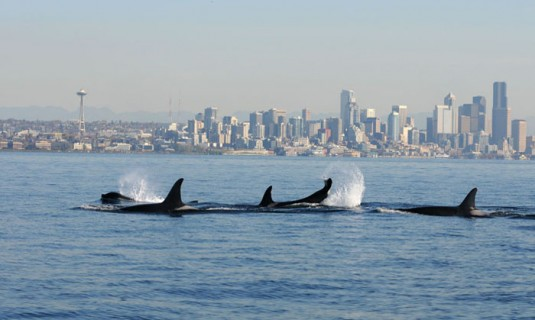 Orcas- Seattle