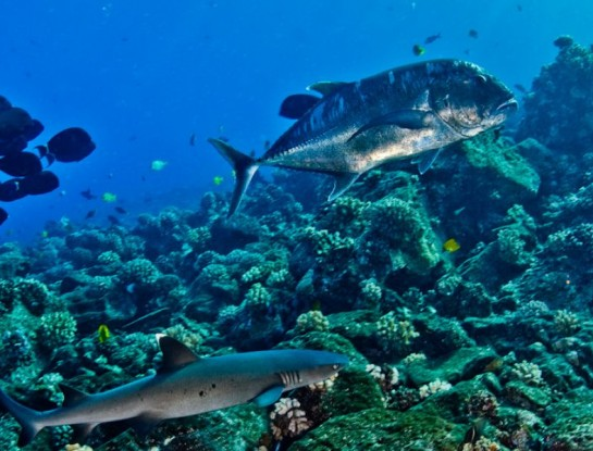 White tip reef shark and trevally