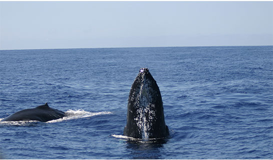 Humpback whale spy hopping